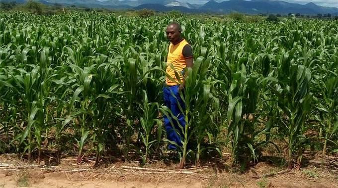 JUST IN: Chombwe Pfumvudza crops in good shape