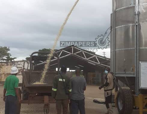 JUST IN: Rains hamper winter maize harvesting