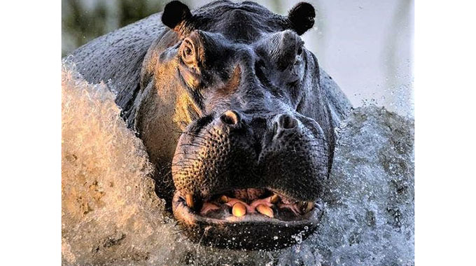 JUST IN: Zaka man trampled to death by Hippo