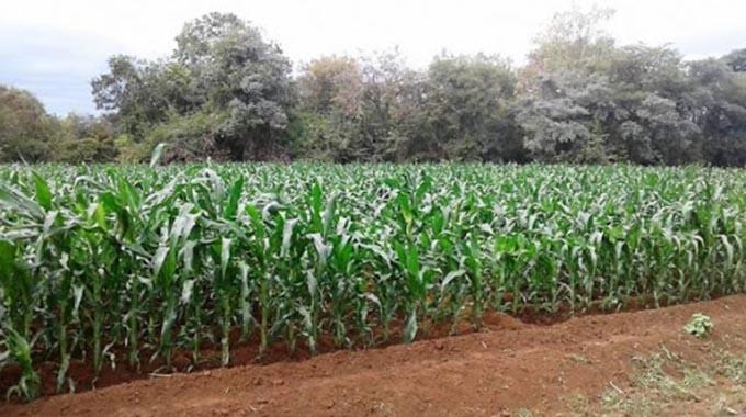 JUST IN: 2000 ha winter maize salvaged in Chiredzi