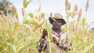 Sunflowers and dried mangoes are the key to surviving climate change in rural Zimbabwe