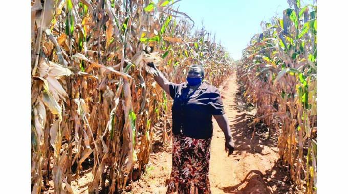 Shurugwi farmer in Pfumvudza success