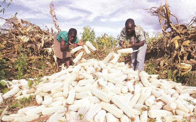 High moisture content affects maize harvesting