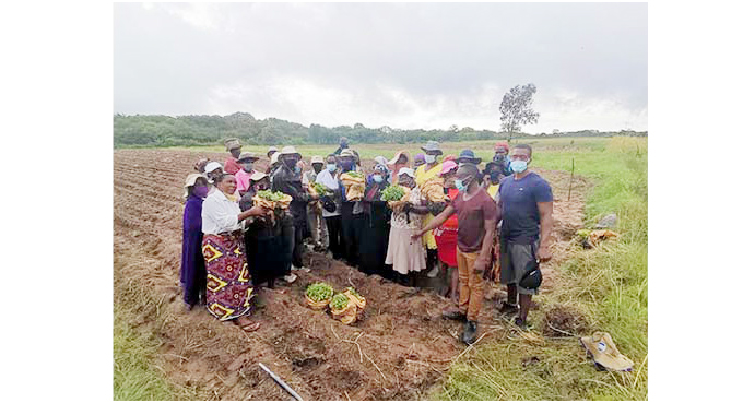 Smallholder farmers in Plumtree diversify to high value crops