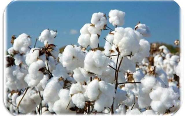 Cottco receives 38 percent of the targeted cotton intake