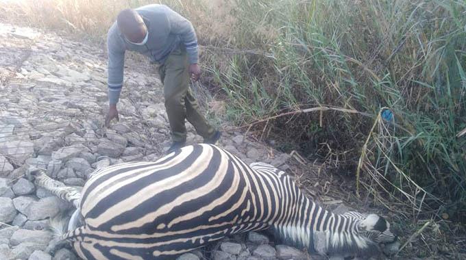 Motorist hits stray zebra along Seke Road