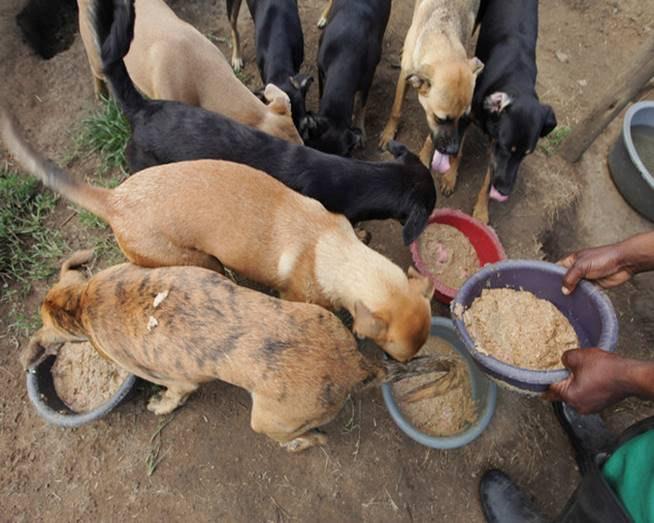 Dogs huddled together being fed.
