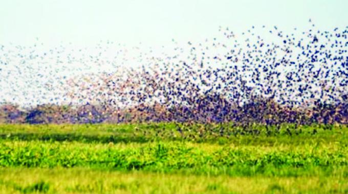 Quelea birds invade more farms in five provinces
