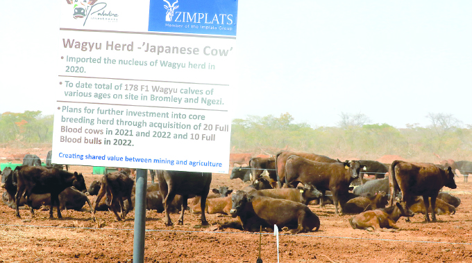 Japanese cattle breed boosts beef prospects