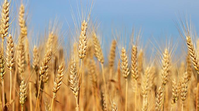 Female wheat farmers shine