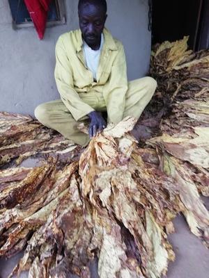 Tobacco farmer Mathew Banda sits as he grades dry tobacco leaves at his home